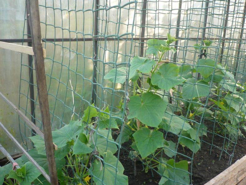 как натянуть сетку для огурцов в теплице